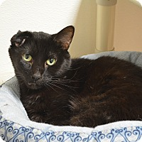 Domestic Shorthair Cat for adoption in Springfield, Illinois - Harvey