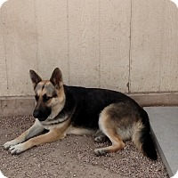 Adopt A Pet :: Dasye - Black Forest, CO