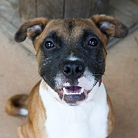 Adopt A Pet :: Brownie - Charlotte, NC