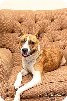 Basenji/Australian Cattle Dog Mix Dog for adoption in Maybrook, New York - Lacey
