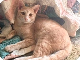Domestic Shorthair Kitten for adoption in Houston, Texas - Lester