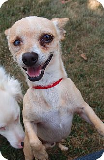 Chihuahua Dog for adoption in Madison, Wisconsin - Elliot: Loves Attention (PA)