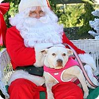 Adopt A Pet :: Gracie Lou Freebush~meet me~ - Glastonbury, CT