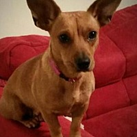 Adopt A Pet :: Honey 5 - Houston, TX