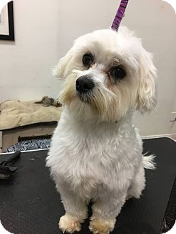 Coton de Tulear/Maltese Mix Dog for adoption in Beverly Hills, California - DEACON MAXWELL