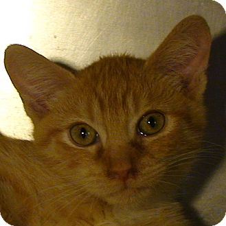 Domestic Shorthair Kitten for adoption in El Cajon, California - Dante