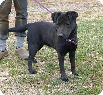 Labrador Retriever Mix Dog for adoption in Bedford, Virginia - Dixie