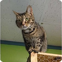 Domestic Shorthair Cat for adoption in MADISON, Ohio - Jilly