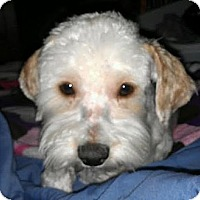 Adopt A Pet :: Brady - non shed - Phoenix, AZ
