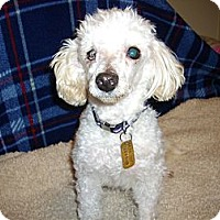 Adopt A Pet :: Snowball - Sheridan, OR