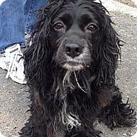 Adopt A Pet :: Fifi - Rockaway, NJ