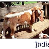 Adopt A Pet :: India - Marietta, GA