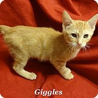 Adopt A Pet :: Giggles - Bentonville, AR