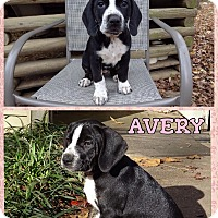 Adopt A Pet :: avery meet me 1/8 - East Hartford, CT