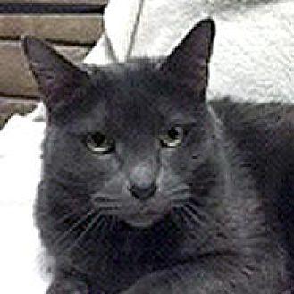 Domestic Shorthair Cat for adoption in Phoenix, Arizona - Jasmine