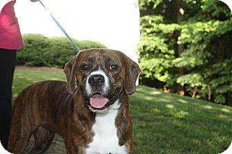 Boxer/Plott Hound Mix Dog for adoption in Raleigh, North Carolina - Harper