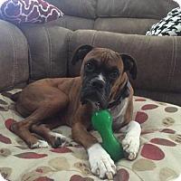 Adopt A Pet :: Dakota - Hurst, TX