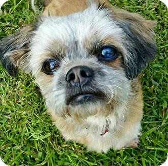 Shih Tzu Dog for adoption in Rockville, Maryland - Lincoln-ADOPTION PENDING!!!