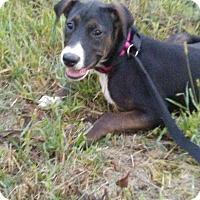 Adopt A Pet :: Star - Staunton, VA