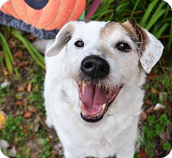 Jack Russell Terrier Mix Dog for adoption in Michigan City, Indiana - Patch