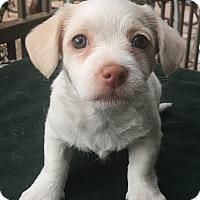 Adopt A Pet :: Anise - Santa Ana, CA