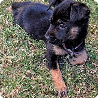 Adopt A Pet :: Raven - Olympia, WA