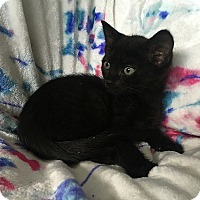 Domestic Shorthair Kitten for adoption in Tampa, Florida - Judith