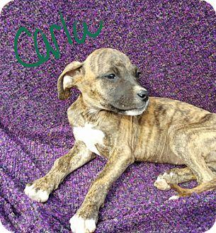 Boxer/Labrador Retriever Mix Puppy for adoption in Burlington, Vermont - Carla