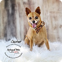 Miniature Pinscher Mix Dog for adoption in Lubbock, Texas - Chestnut