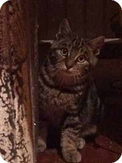Domestic Shorthair Kitten for adoption in Montreal, Quebec - Buddy IV
