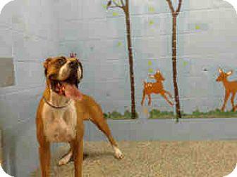 Boxer Dog for adoption in San Bernardino, California - URGENT ON 12/9  San Bernardino