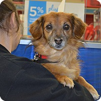 Dachshund/Spaniel (Unknown Type) Mix Dog for adoption in Lodi, California - Miles