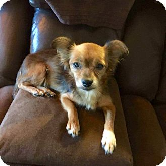 Chihuahua Mix Dog for adoption in Sagaponack, New York - Lily