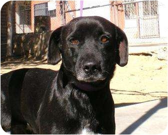 Labrador Retriever Mix Dog for adoption in Vancouver, British Columbia - Jose - Courtesy