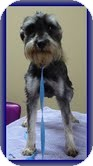 Schnauzer (Miniature) Dog for adoption in Hagerstown, Maryland - Pip