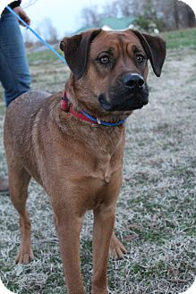 Rottweiler/Boxer Mix Dog for adoption in Hagerstown, Maryland - Captain Jack Sparrow