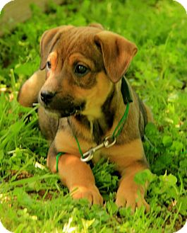 German Shepherd Dog/Jack Russell Terrier Mix Puppy for adoption in Staunton, Virginia - Milo