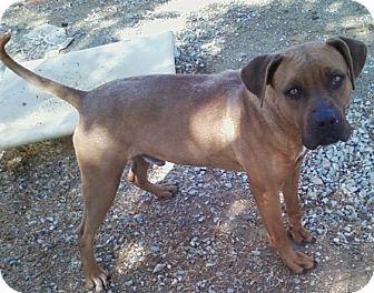 Labrador Retriever Mix Dog for adoption in Midlothian, Virginia - Prince