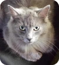 Domestic Longhair Cat for adoption in Milford, Ohio - Gray Squirrel