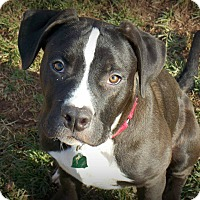 Adopt A Pet :: Shadow - Sinking Spring, PA