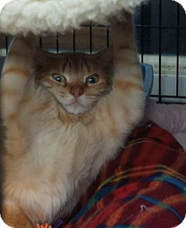 American Shorthair Cat for adoption in New Orleans, Louisiana - Dewy