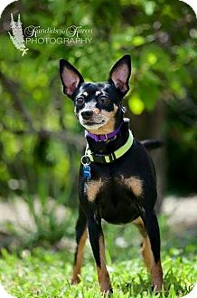 Chihuahua/Miniature Pinscher Mix Dog for adoption in Portage, Indiana - Selma