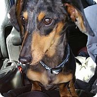 Adopt A Pet :: Little Dude - Marcellus, MI