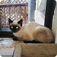 Siamese Cat for adoption in Grand Junction, Colorado - Siamese Twins