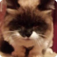 Adopt A Pet :: Miss Kitty - purebred - Ennis, TX