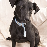 Adopt A Pet :: William Weimarmix - St. Louis, MO