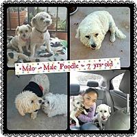 Poodle (Miniature) Dog for adoption in Fullerton, California - Milo