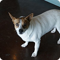 Rat Terrier Mix Dog for adoption in San Antonio, Texas - Colleen
