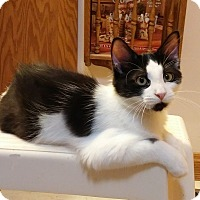 Domestic Longhair Kitten for adoption in Cleveland, Ohio - Boomer