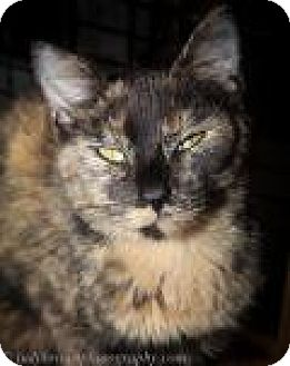 Domestic Shorthair Cat for adoption in Wellesley, Massachusetts - Carmella
